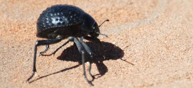 Namib desert beetle in Sossuvlei