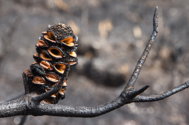 Post 02_Banksia after Fire
